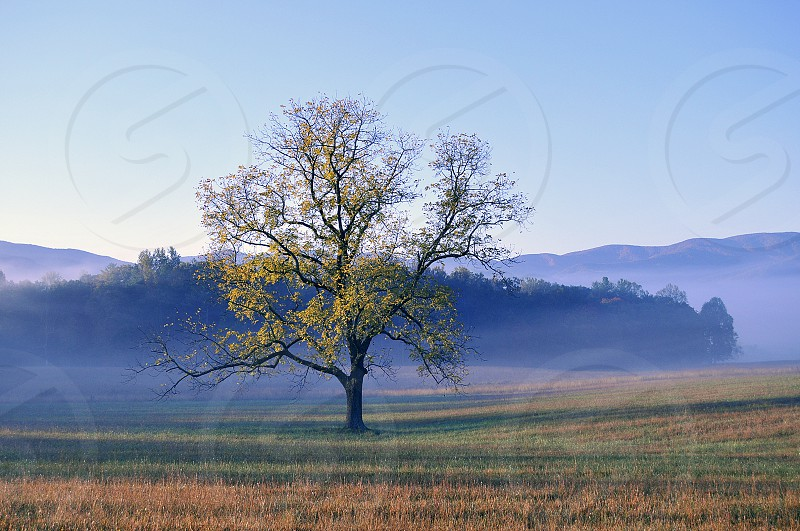Lone Tree early morning Cades Cove  photo