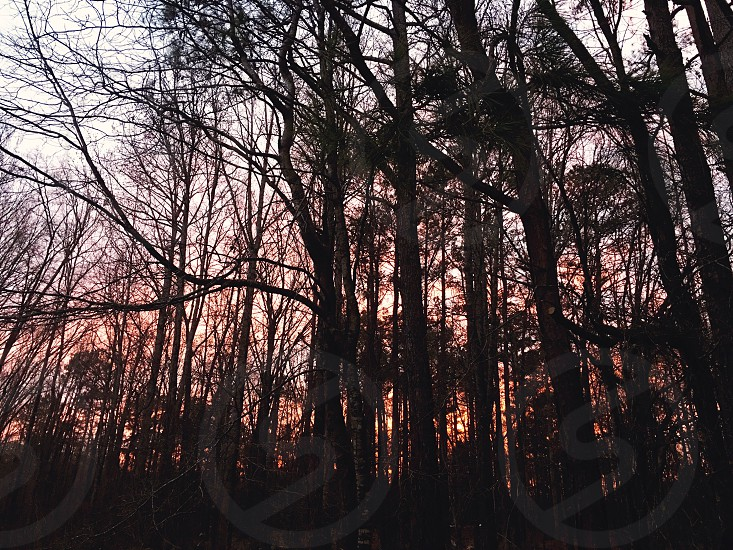 thin tree forest shrouded in darkness during twilight photo