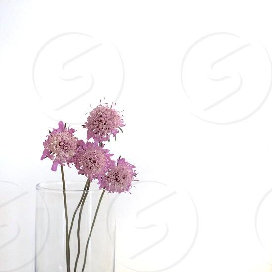 Pincushion flowers in a basel photo