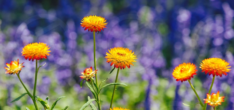 Beautiful fresh flower in sunday garden. photo