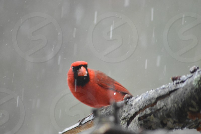 cardinal bird perched on tree branch during snow at daytime photo