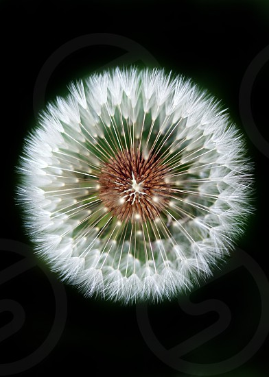 top view of white dandelion flower photo