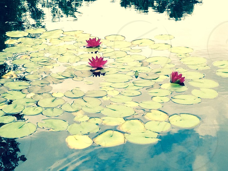 photography of green waterlilies on water photo
