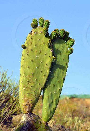 Stock Photo Keywords cactus cactus desert desert desert landscapeexoticgreennature opuntia pricklysharp succulent summer sun thorn  photo
