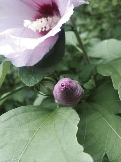 Flower bud budding unopened  photo
