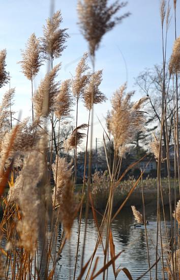 grass reeds autumn nature brook photo