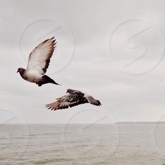 grey and white pigeons flying photo