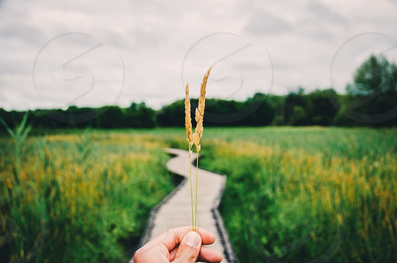 person holding brown wheatgrass under white clouds photo