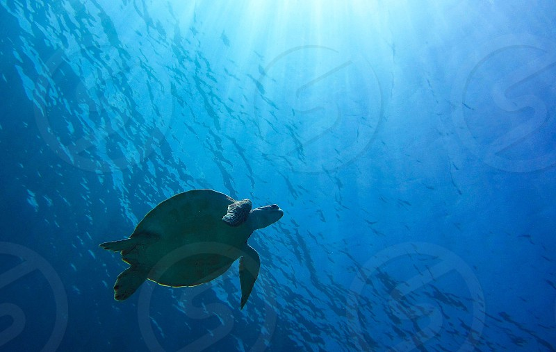 Green sea turtle diving in Mexico photo