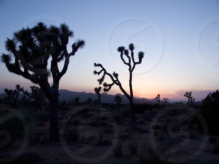 Joshua trees. Silhouette. Sunset. Desert. photo