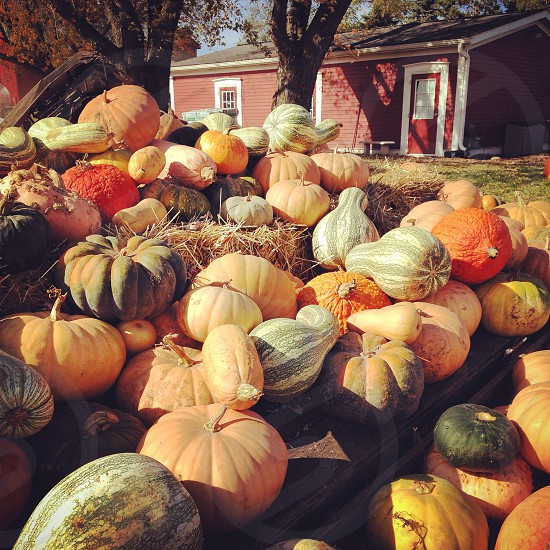 orange pumpkins photo