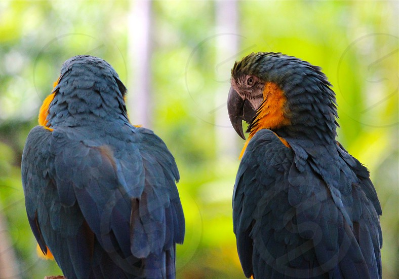 yellow and blue macaws photo