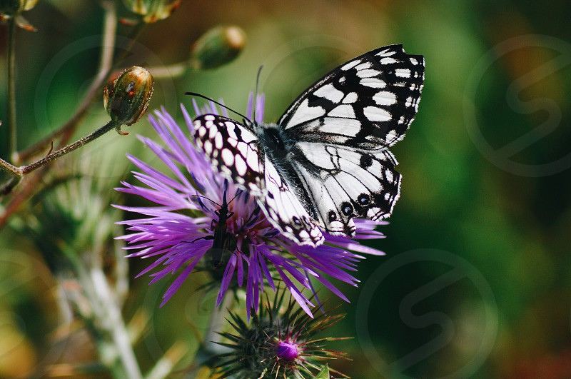 white spotted black butterfly photo