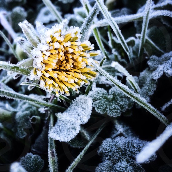 First frost on a dandelion.  photo