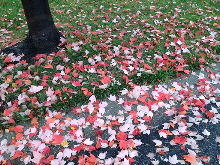 white and red maple leaf  on  ground  photo