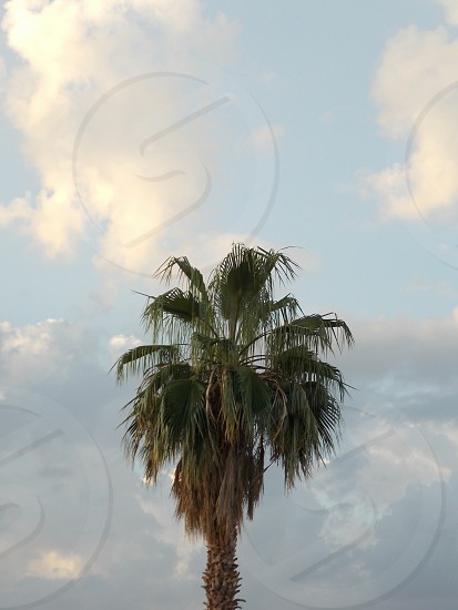 green tall palm tree photo