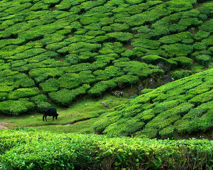 Tea Plantation in Munnar. (Kerala India) photo