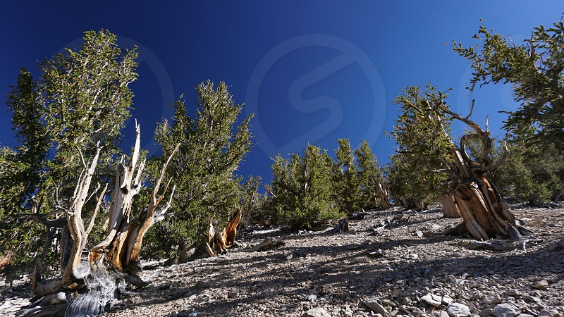 A grove of ancient Great Basin Bristlecone Pine trees on a rocky barren slope in California's White Mountains. Some are over 4000 years old. photo