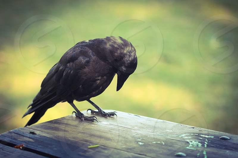 raven bird on wood photo