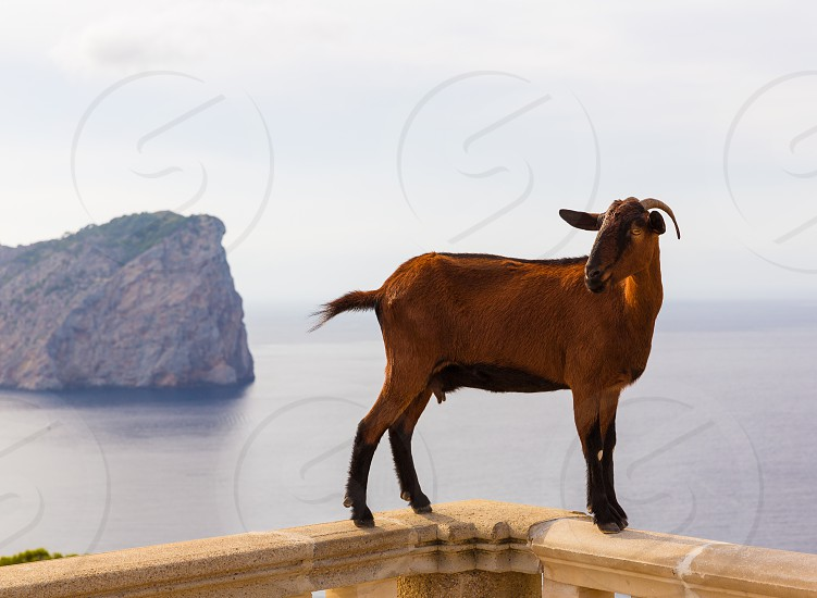 Majorca goat in Formentor Cape Lighthouse at Mallorca photo