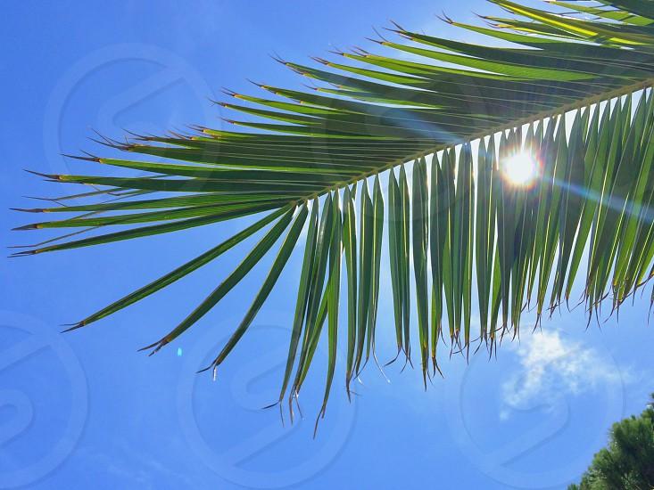 Sun through a Palm tree. Green.  photo