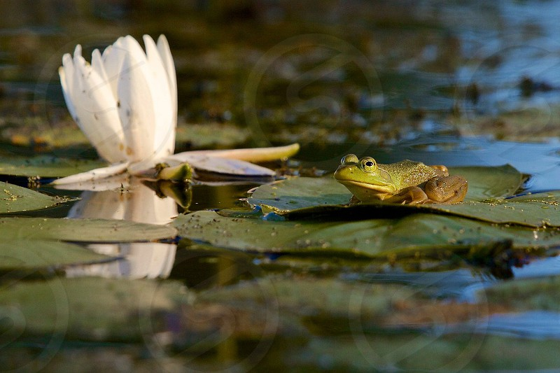 green frog on water lily photo