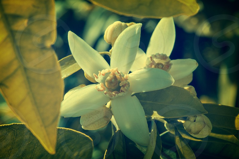 Orange blossom flowers in a tree in mediterranean Spain photo