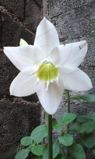 flor branca adrianomp3 photo