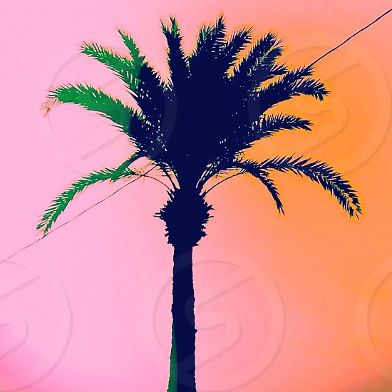 Palmtree silhouette against a pink sky photo
