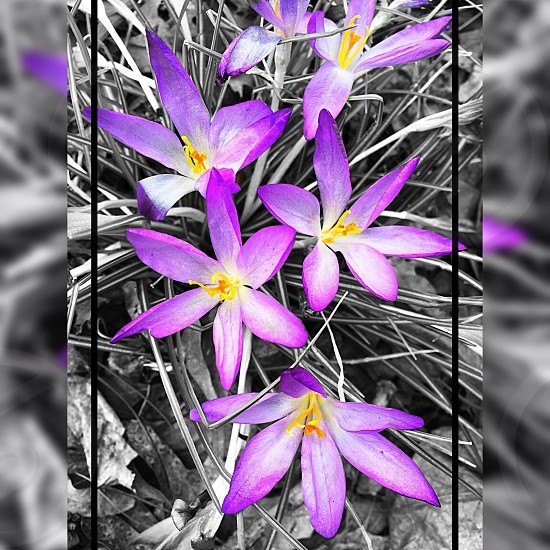 Something so simple can be so beautiful 🌸💜 #nature #flowers #artsy #blackandwhite  photo