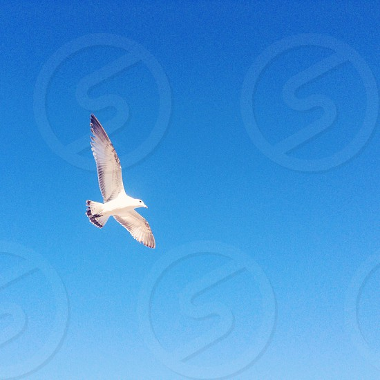 Seagull flying in a blue sky photo