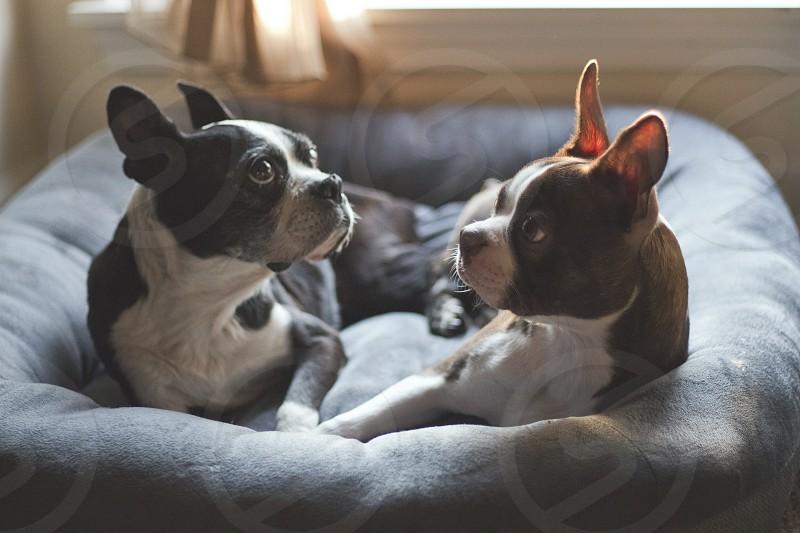 Boston terrier dog photo