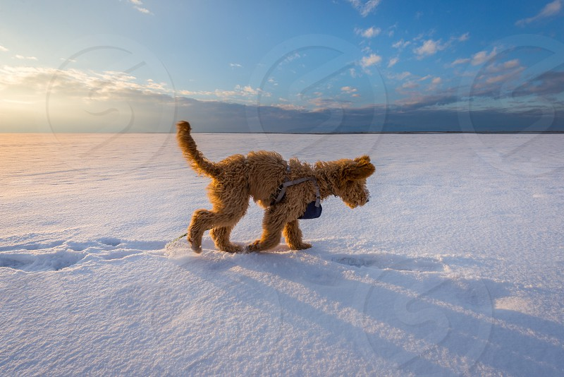 labradoodle dog running through white snow photo
