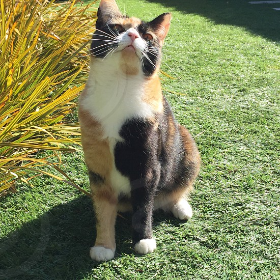 A young calico cat sits on the grass daydreams and gazes up at the sky on a bright sunny summer's day photo