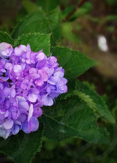 little purple ones photo