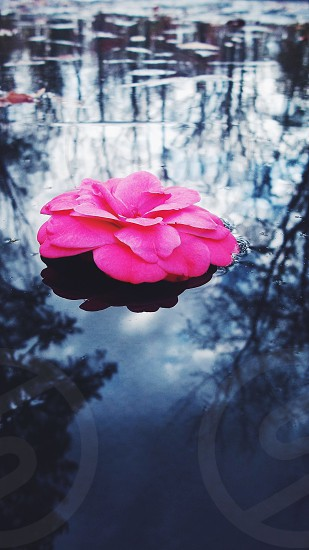 pink flower with layering petals floating on calm dark water reflecting tall trees photo