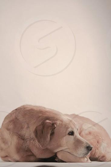 #lab #dog #pet photo