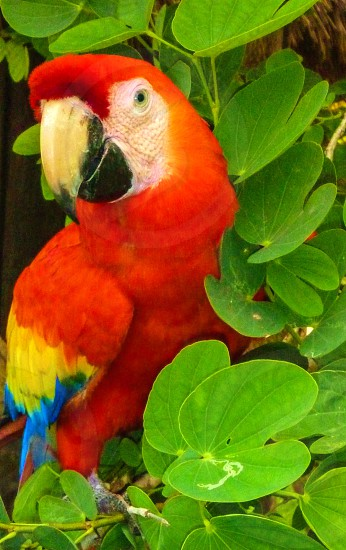 photography of Scarlet Macaw photo