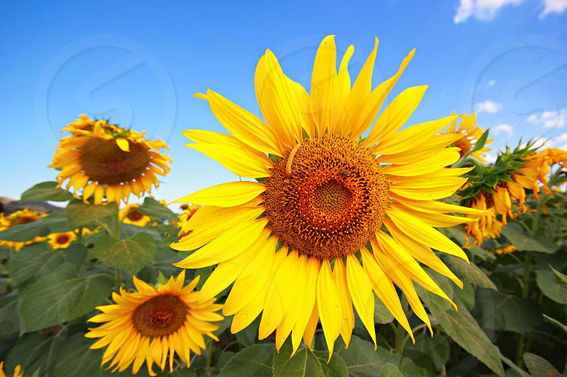 Sunflowersfloweryellownaturalniceskyblue skyfloralfreshsummerbackground  photo
