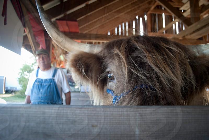 bull with horns photo