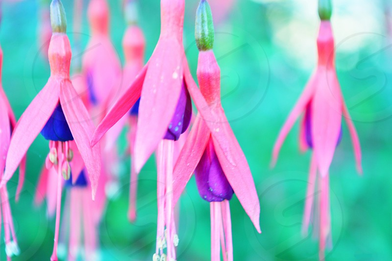 Pink Fuchsia photo