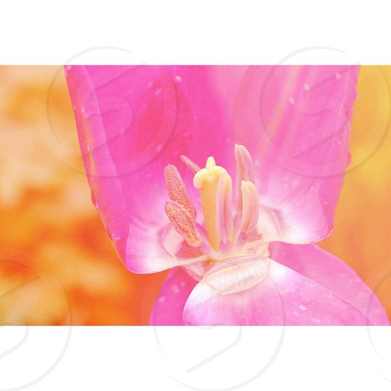 pink tulip flower photo