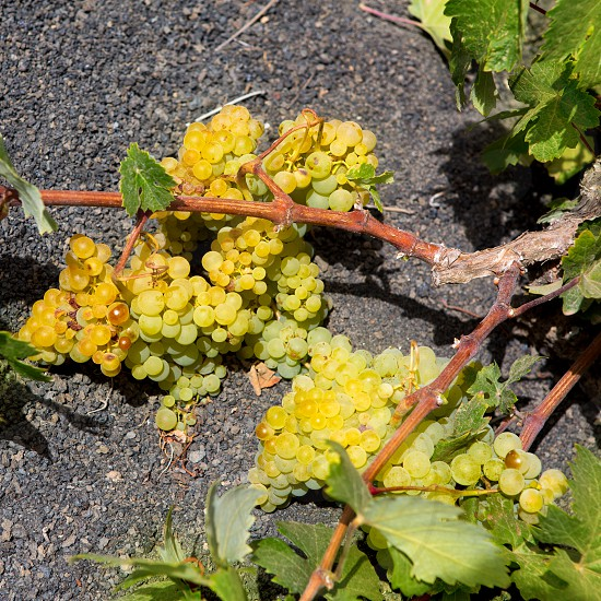 Lanzarote La Geria vineyard on black volcanic soil in Canary Islands photo