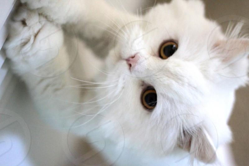 Momo the White Persian Cat - 2 photo