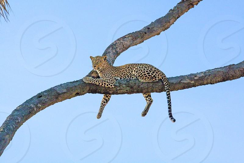 African Leopard. Samburu National Park Kenya. photo
