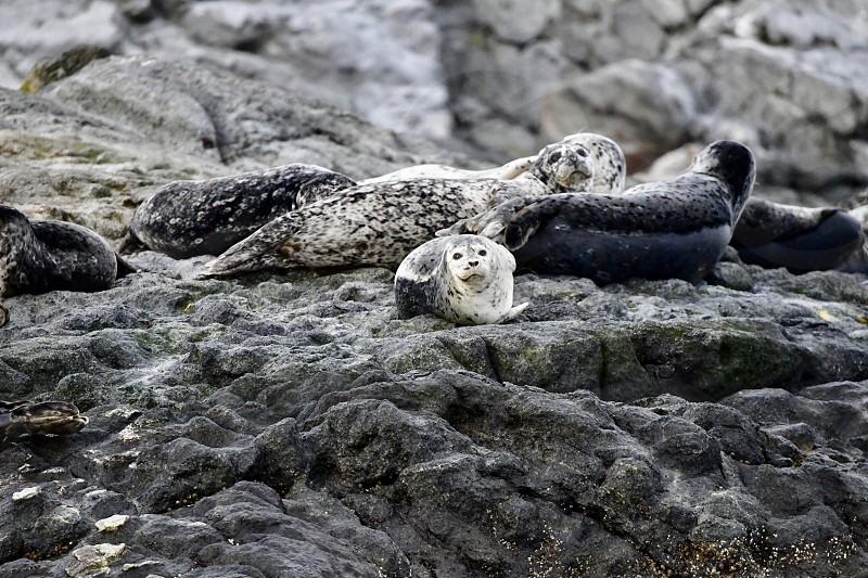 Harbor Seals at Vancouver island. photo
