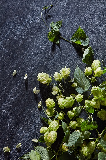 Fresh green hop branch on wooden background. photo