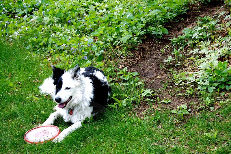 Boarder Collie relaxing after a game of frisbee  photo
