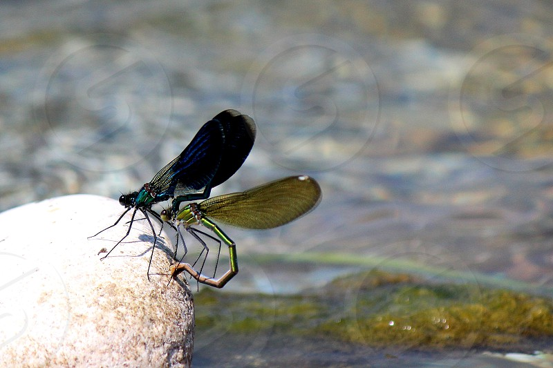 insects dragonfly Odonata preliminary of coupling photo