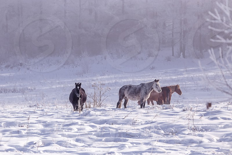 Horses stay and relax on snowy forest in the woods in winter photo